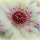 Soft Gerbera by ElsT