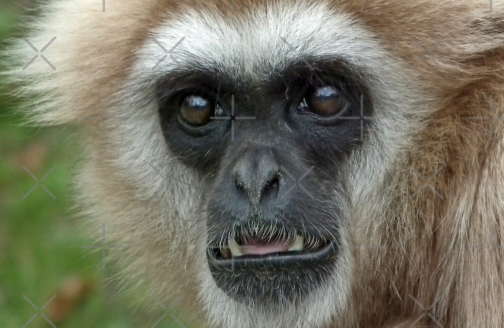 Lar Gibbon huh!! by Yampimon