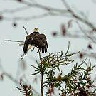 Bald Eagle  by Tamara Brandy