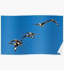 Shorebirds waterbirds? Poster