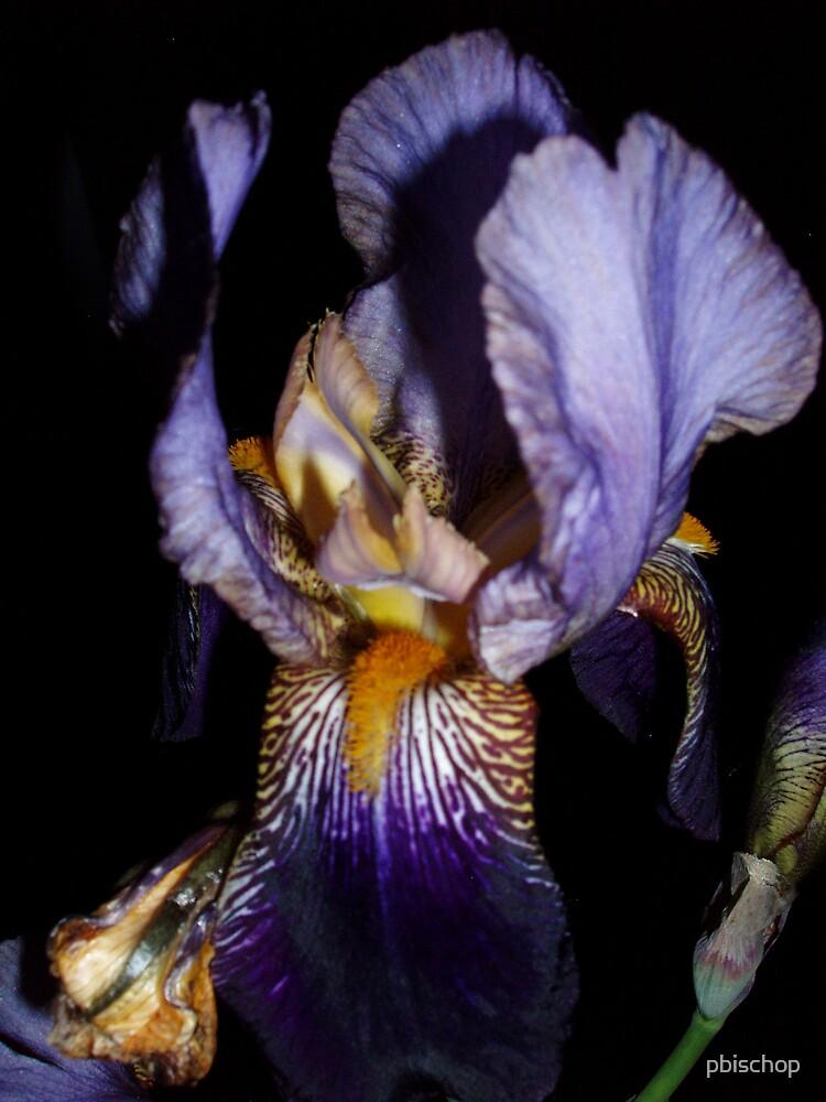 Iris by pbischop