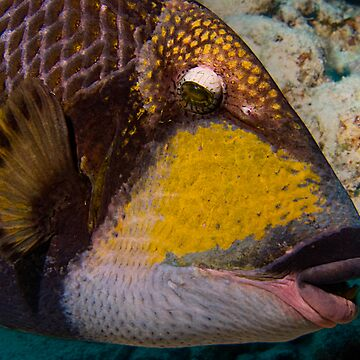 Triggerfish by froop