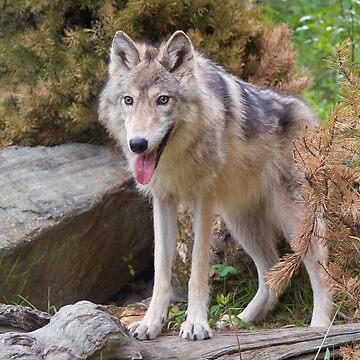 Grey Wolf by w1ldsnaps