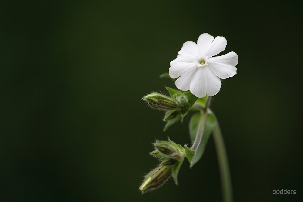 White Campion..... by godders