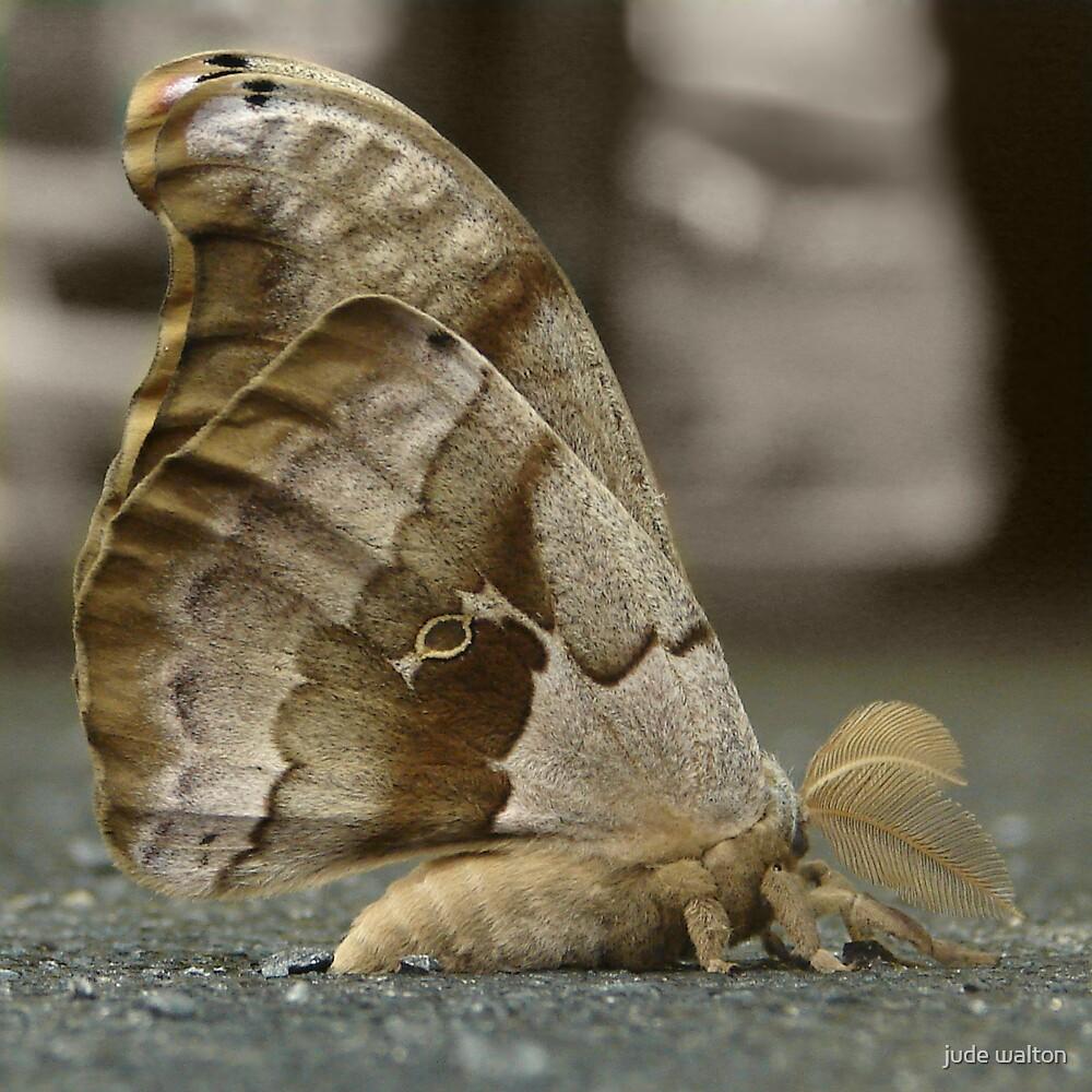 Polyphemus moth (Antheraea polyphemus)  by jude walton