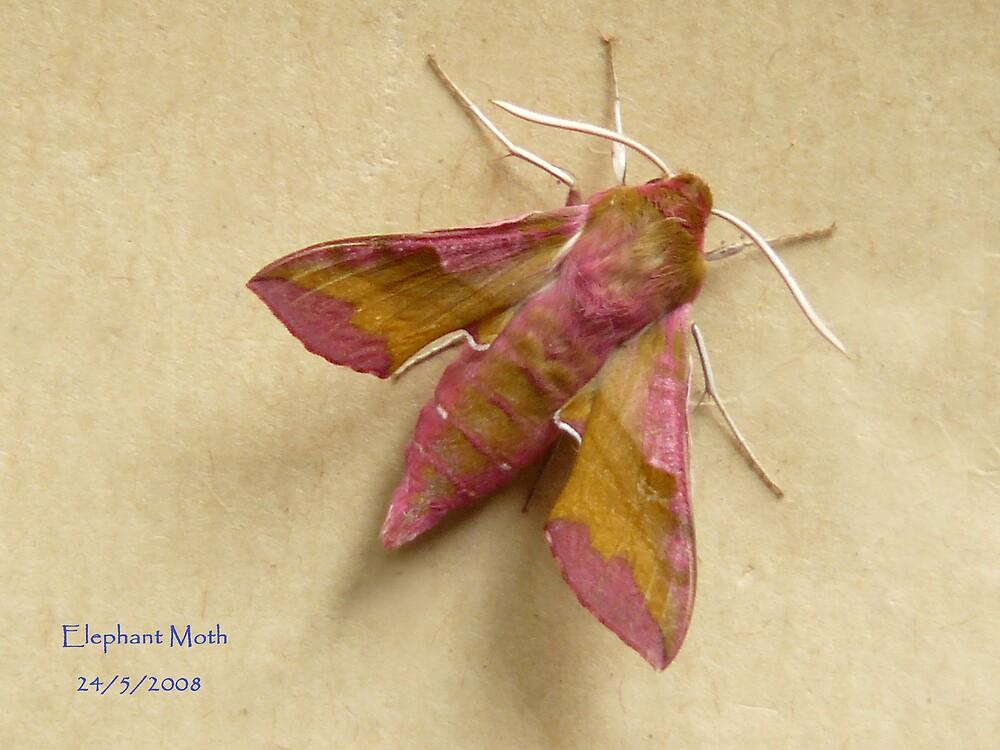 Elephant Moth by patroc