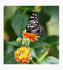Blue Glassy Tiger (Butterfly) Photographic Print