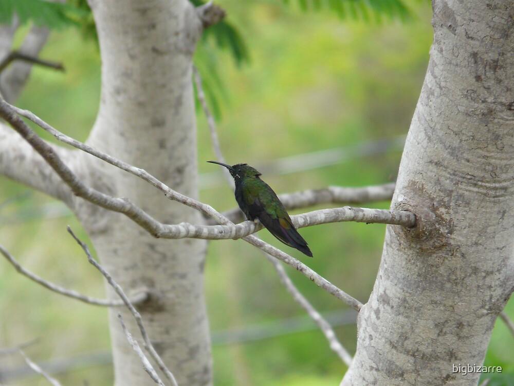 colibri humming bird by bigbizarre