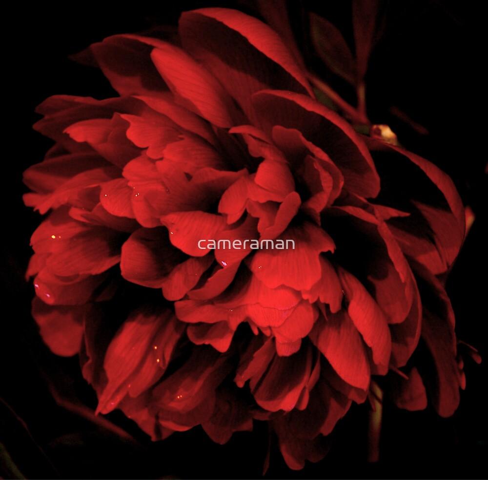 pheony rose  by cameraman