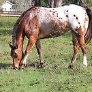 Appaloosa Horse by Rosalie Scanlon