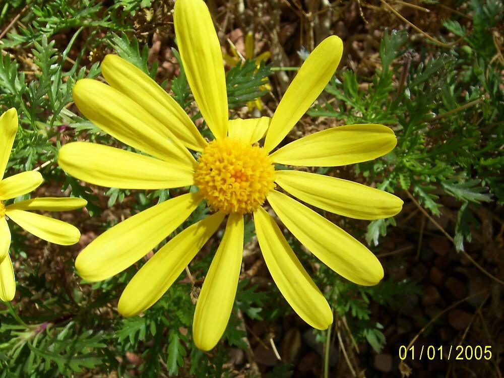 Nevada sunflower by Timdischer
