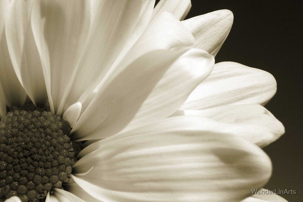 Black and White Daisy by WanderLinArts