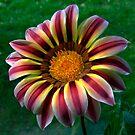 Gazania Daisy by BigD