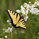 Tiger Swallowtail by Gregg Williams