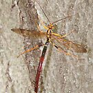 Dragonfly by tachamot