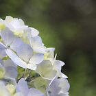 Hydrangea by Tracy Friesen