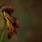 Faded Beauty of the Flower by AnnieD