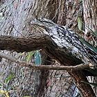Tawny Frogmouth 2 by Margaret Stevens