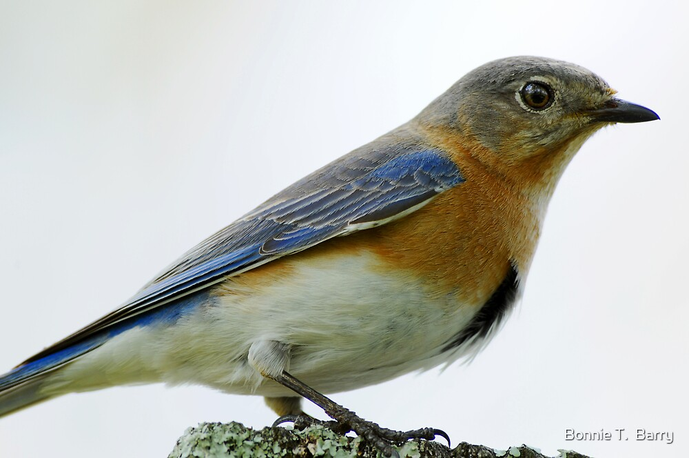 Bluebird Encounter by Bonnie T.  Barry