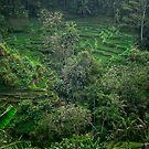 Bali rice terrace by Alita  Ong