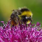 Bumble Bee On Alium Flower by lezvee