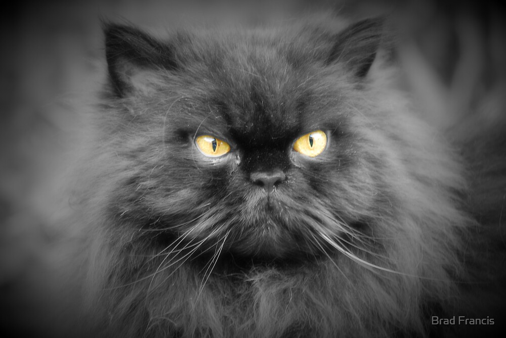 Persian cat by Brad Francis