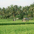 «Campo de arroz de Bali» de Alita  Ong