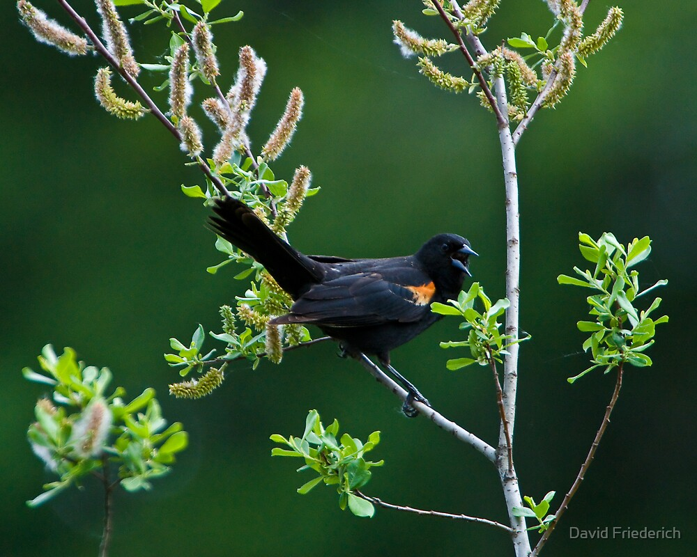 Singing His Song by David Friederich