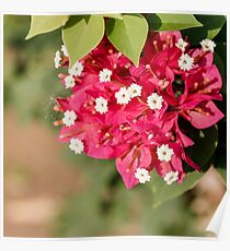 red Bougainvillea leaves and flowers close up Poster
