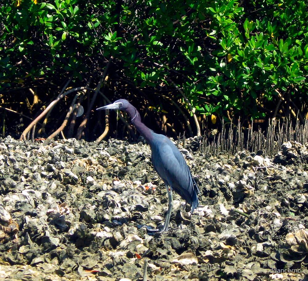 Blue Heron by ddancernc