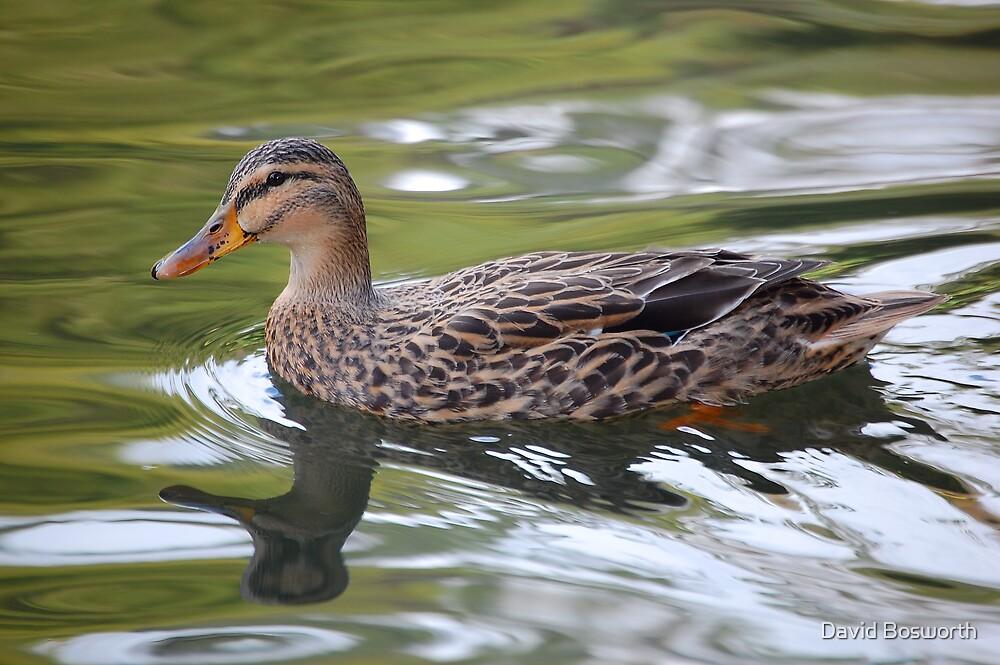 Duck by David Bosworth