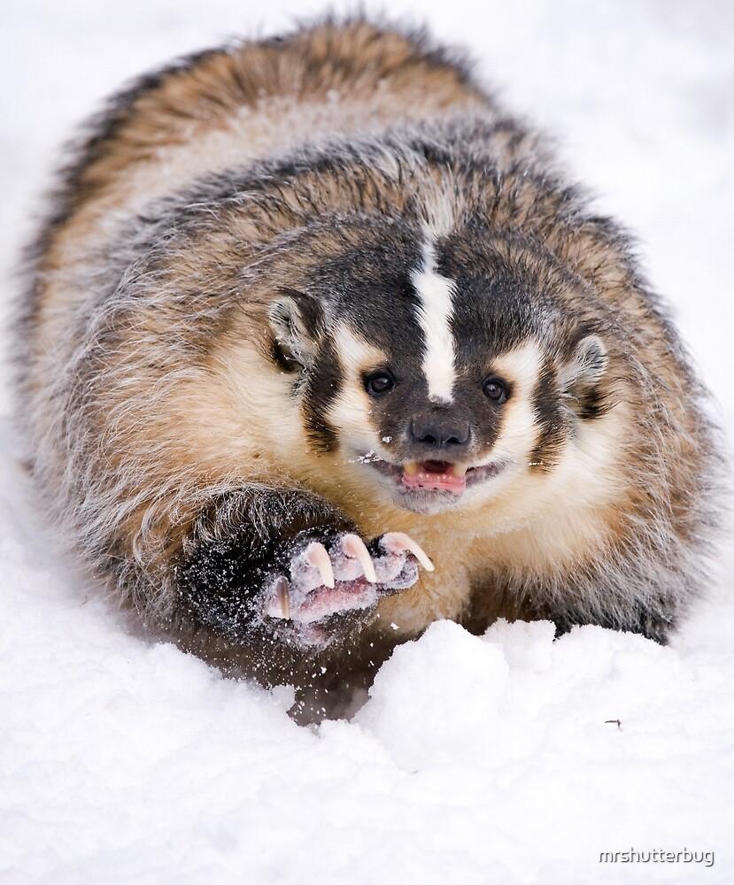American Badger by mrshutterbug