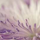 Purple Spider Mum Macro by Sandra Foster