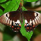 Schmetterling von Evita