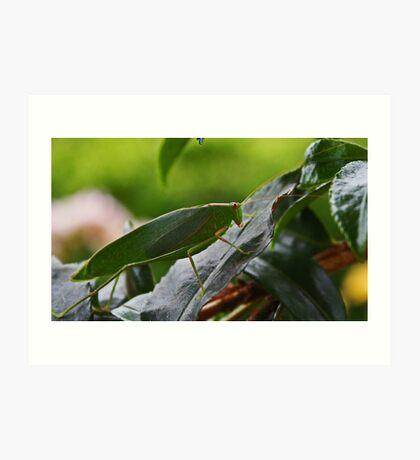 Gum Leaf Katydid (Torbia viridissima) Kunstdruck