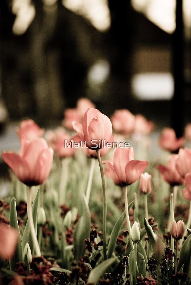 Tulips in Spring by Matt Sillence