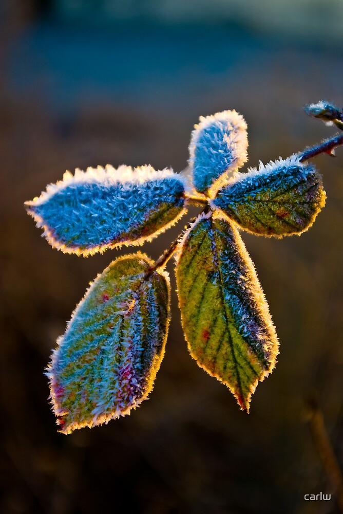 frosty leaf in the morning sun by carlw