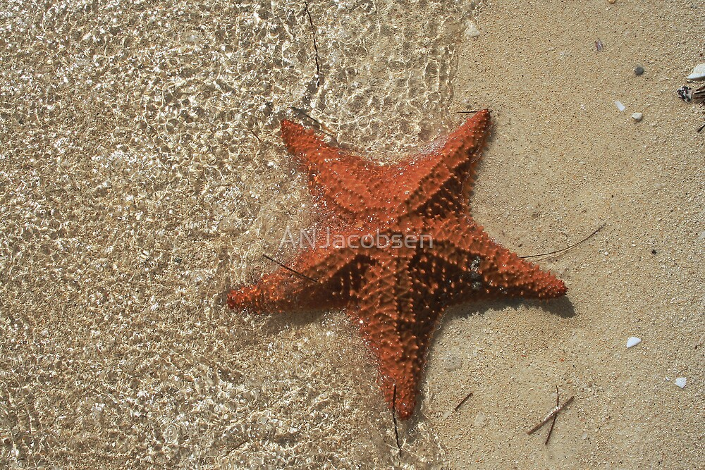 Bahama Starfish by ANJacobsen