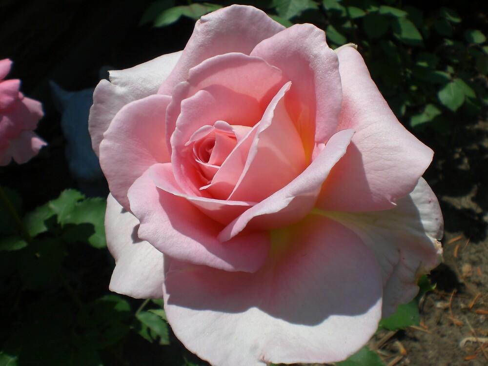Rose Series #22 by Ellaine Walker