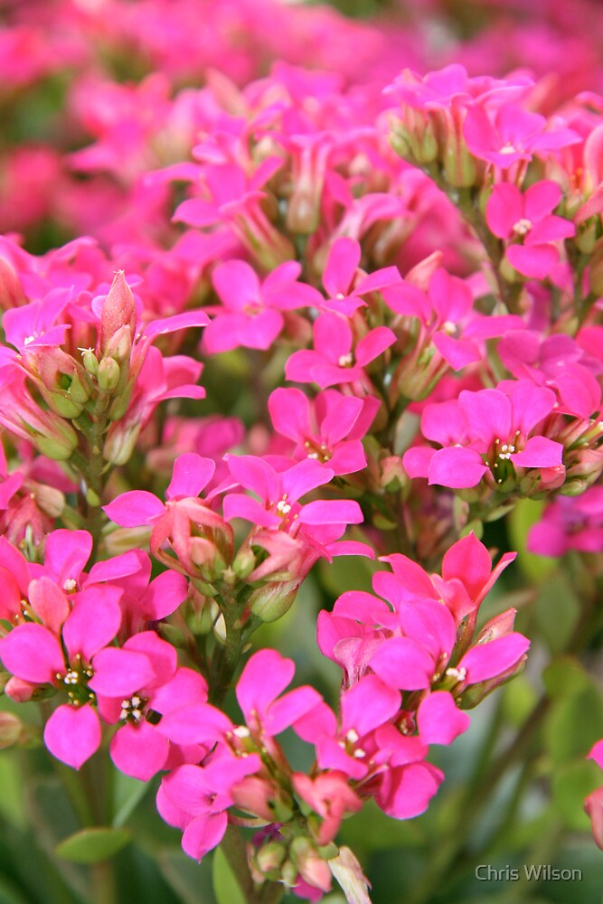 pink Flowers by Chris Wilson