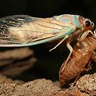 Cicada by Darren Post