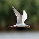 foresters tern with lunch by Dennis Cheeseman