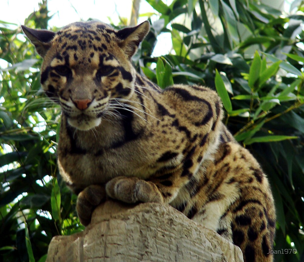 Clouded Leopard by Joan1970