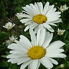 My Shasta Daisies by Cathy Jones