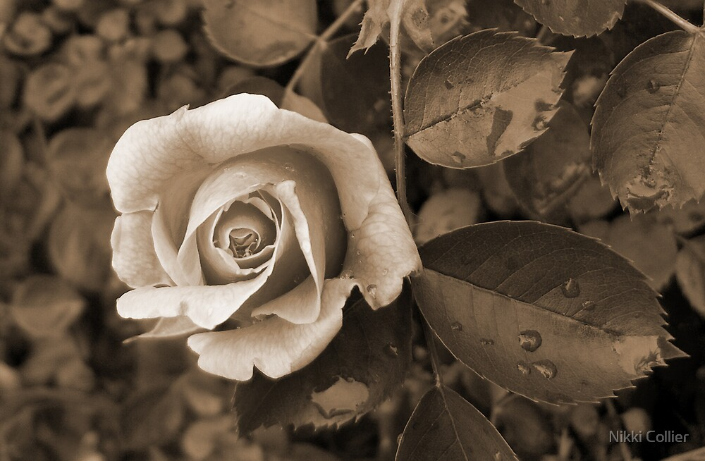 Old Rose by Nikki Collier