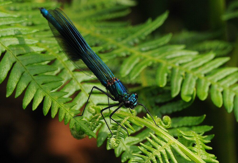 Damselfly in the Fern by Charles Howarth