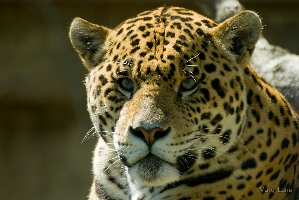 Jaguar by Mary  Lane