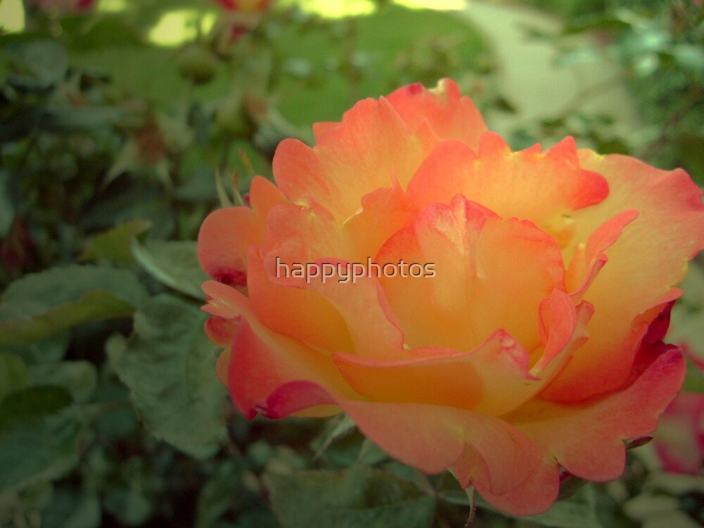 Sunkissed Rose by happyphotos