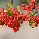 A berry or two by Bouzov