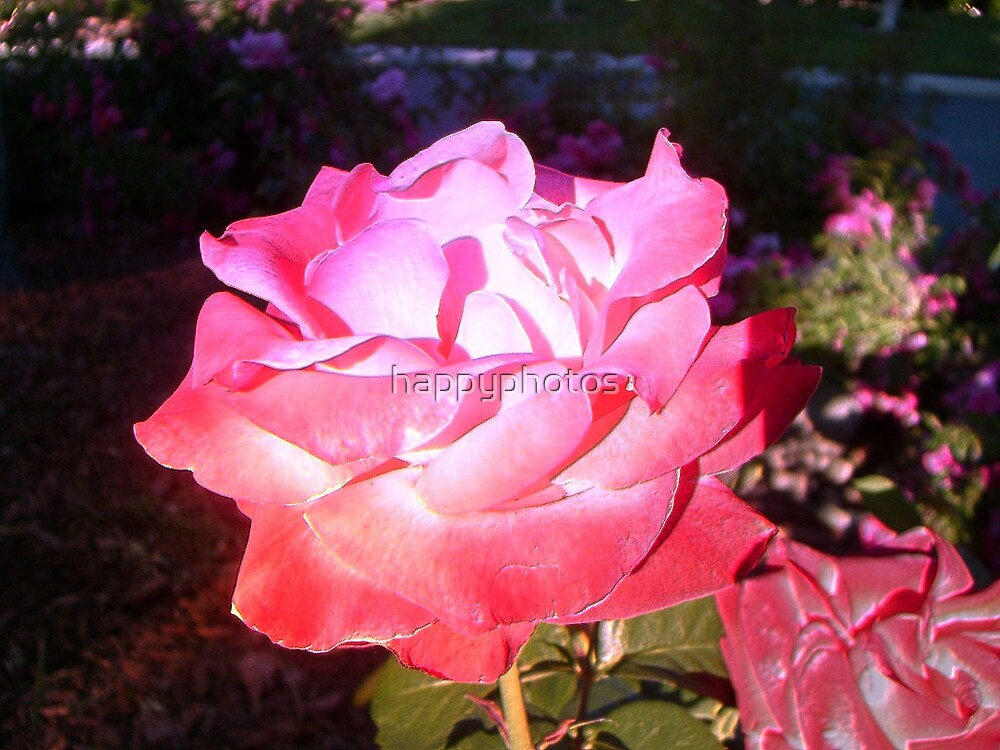 Beautiful Rose by happyphotos